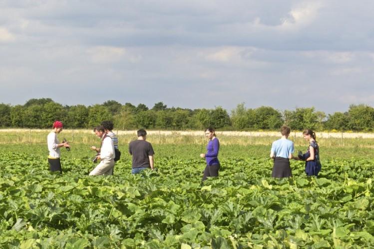 gleaning marrows in the field