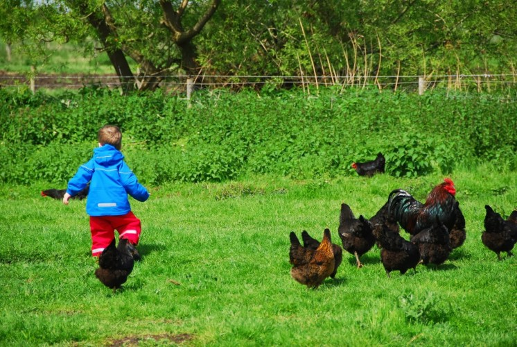 Shane runs off to join the chickens