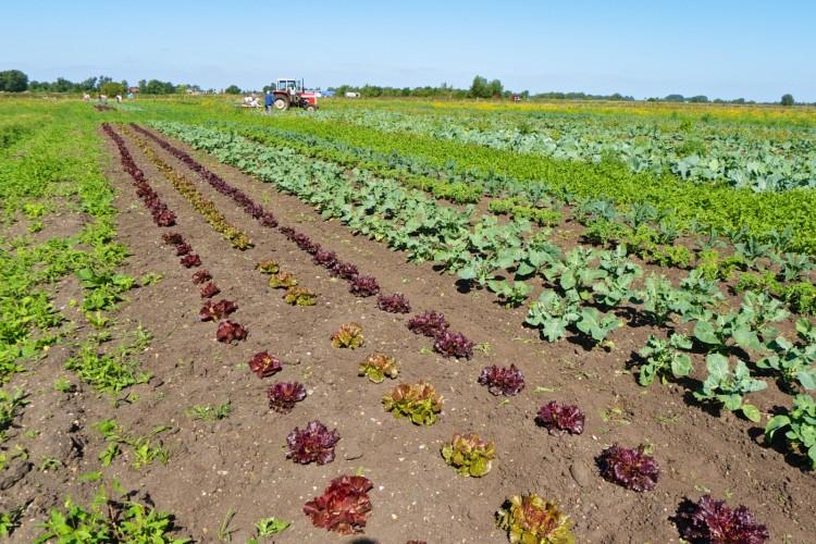 Mixed crops at the farm