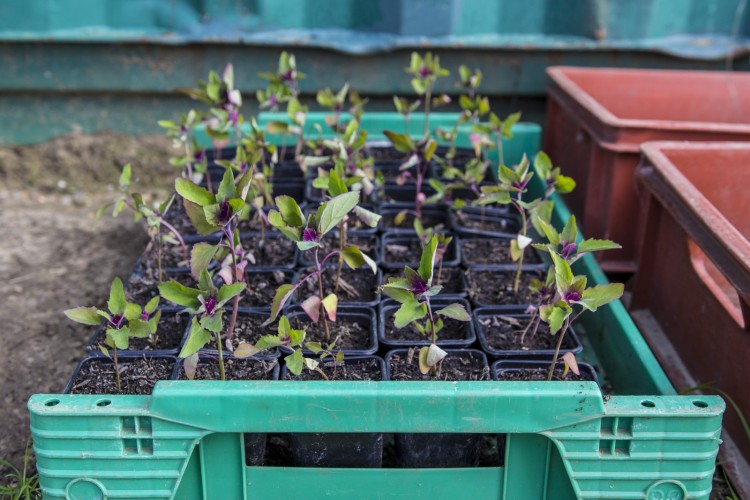 Tasty tree spinach seedlings waiting to be planted out