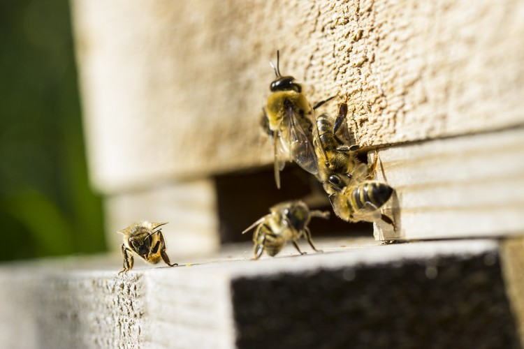 Bees coming and going from Dave's hives at Trumpington Allotment