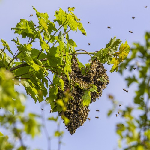 Swarm we watched form on top of a tree in Trumpington Allotments