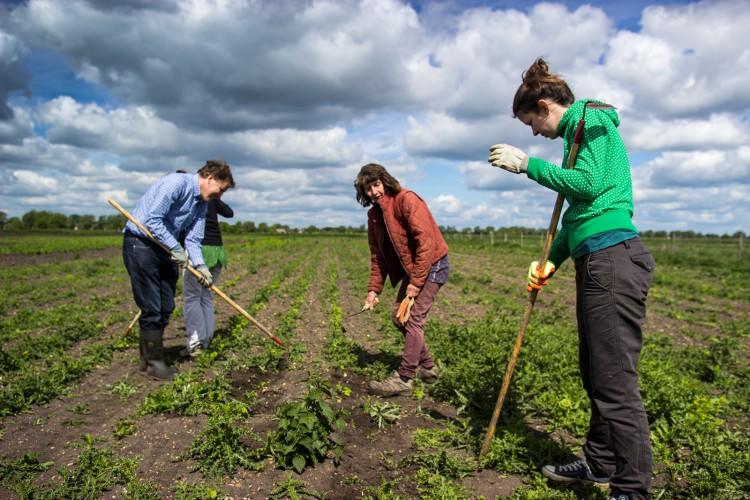 Keeping on top of weeds in parsnip crop