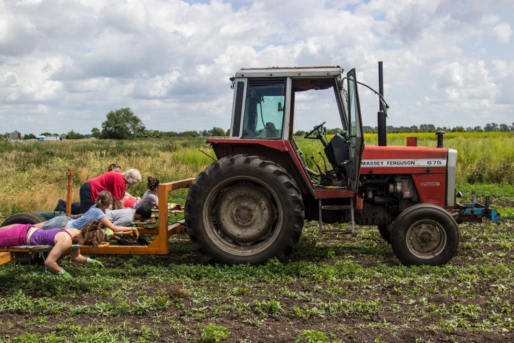 Weeding on the lay down- the most stylish way to weed crops