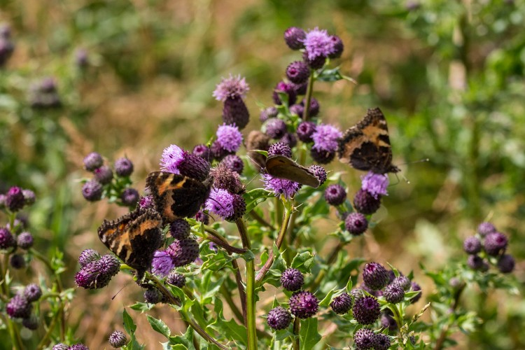 Butterflies everywhere on the farm recently! Here's a gang of small tortoiseshells having a party on a thistle