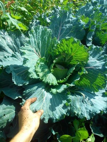 Massive cabbage mate