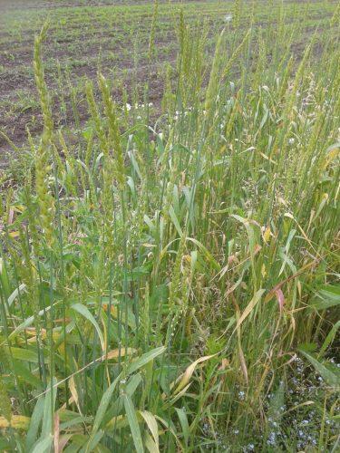 Old Burwell crop